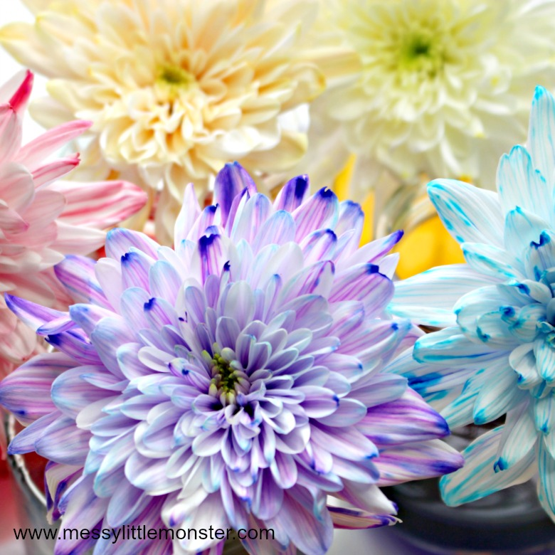Colour Changing Flowers Science Experiment - A fun science project for kids or easy science experiment for preschoolers. This cool science experiment teaches children about how plants absorb water.