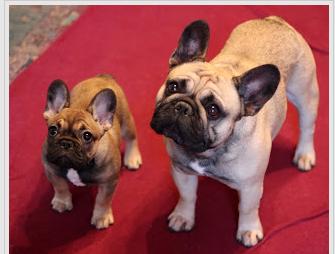 English Bulldog Puppies French Bulldog Puppies For Sale Ohio