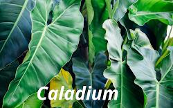 Caladium, Si Biang keladi bak Anthurium Zaman Now