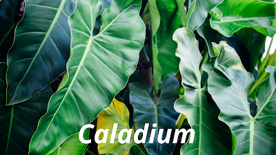 Tumbuhan Keladi atau Caladium