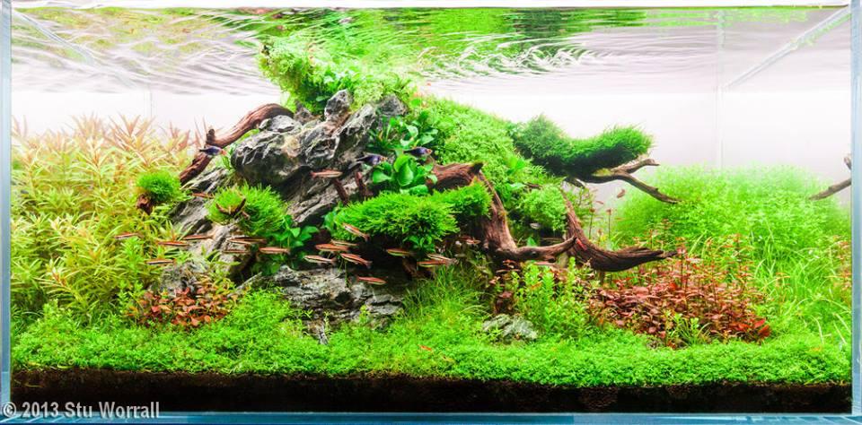 Trân châu ngọc trai tuyệt đẹp trong một bố cục hồ thủy sinh