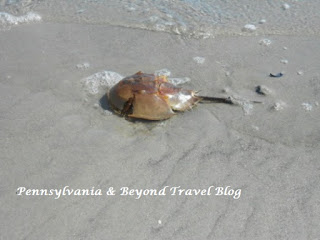 Beached Horseshoe Crab in Wildwood New Jersey