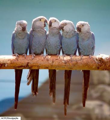 ararinha azul, bahia, reintrodução da ararinha azul, aves do brasil, pássaros do brasil, ornitologia, pan ararinha azul, Curaça, aves, birds, Cyanopsitta spixii