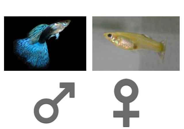 Guppy-Male-Femelle