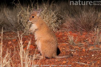 Wallaby liebre rufa (Lagorchestes hirsutus)