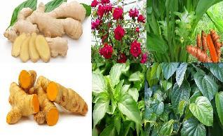 sebagai penyakit sepertinya kurang pas Tanaman obat herbal untuk atasi batuk