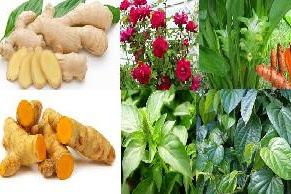 Tanaman obat herbal untuk atasi batuk