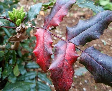 Hojas coloreadas de la mahonia