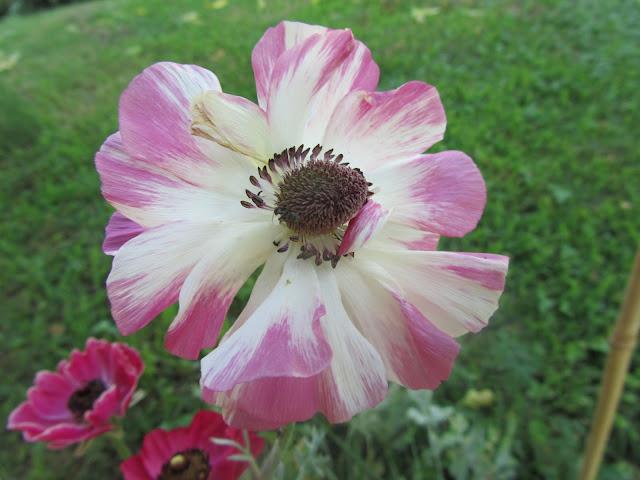 Fiore Singolo Ranuncolo