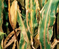 el tizón del maiz