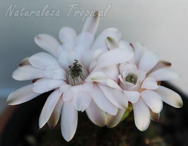 Detalles de las flores del cactus ornamental Gymnocalycium anisitsii