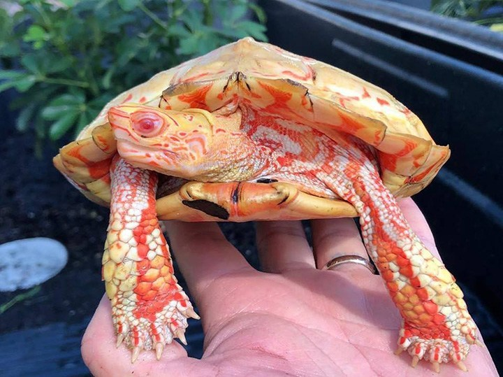 This Albino Turtle Is Absolutely Stunning