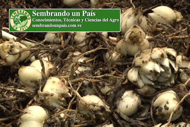 reutilización de la semilla del lirio