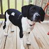 Border Collie Beagle Mix Temperament, Size, Lifespan, Adoption, Price