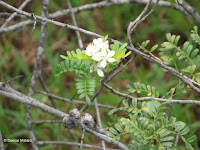 'Ulei flower and fruit - Ho'omaluhia Botanical Garden, Kaneohe, HI