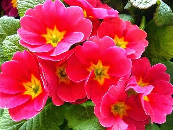 домашние цветы, примула, комнатные цветы, уход за комнатными цветами, уход за примулой, удобрения для примул