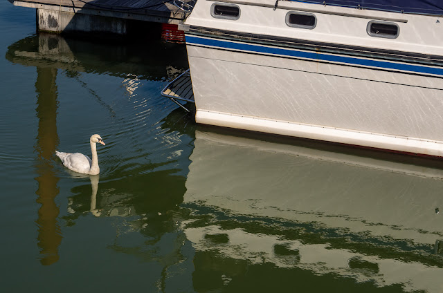 Photo of the cygnet waiting for food by Ravensdale