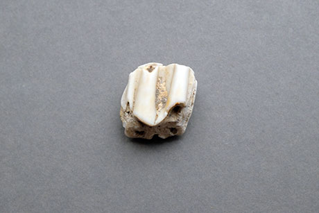 Tooth © Graeme Walker / Pebble Museum 2019