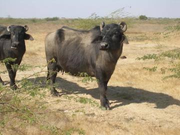 Bunni Buffalo
