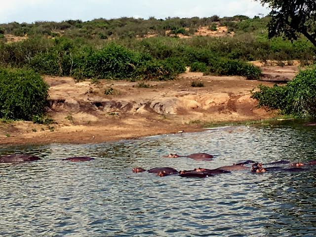 hipopotamy biologia Uganda