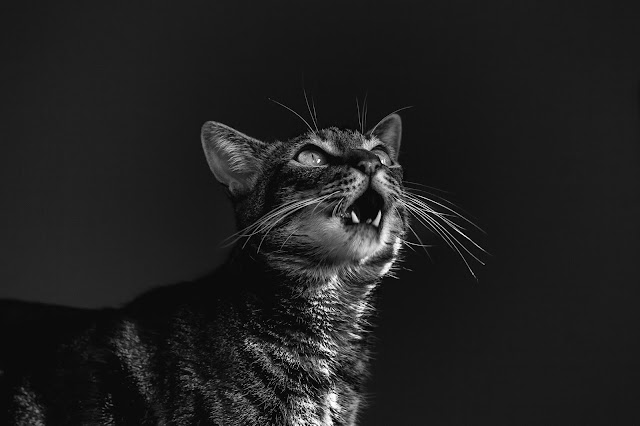 Your Cat Is Meowing Constantly - 7 Reasons Why