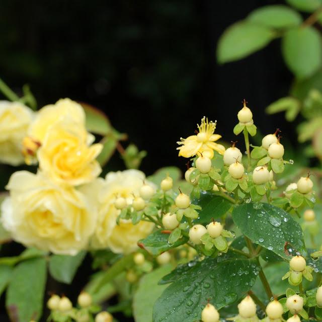 Hypericum en roos Golden border