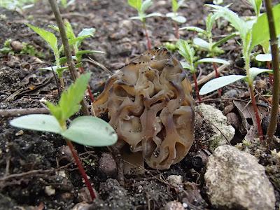 mitrówka półwolna Mitrophora semilibera