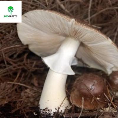 Importance Of Fleshi Mushroom