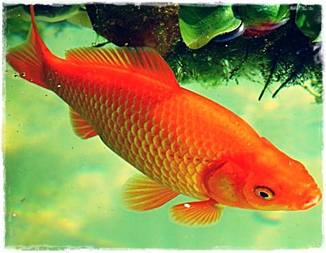 Jual Ikan Mas Bibit Konsumsi, dan Hias  di Yogyakarta
