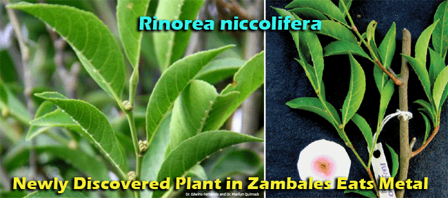 Newly Discovered Plant - Rinorea niccolifera in Zambales Eats Metal