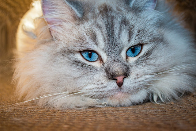How to Take Care of a Siberian Cat - RictasBlog