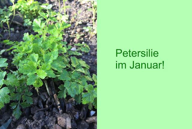 Petersilie im Januar