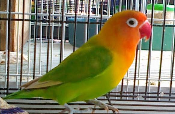 download Suara Masteran Burung Lovebird