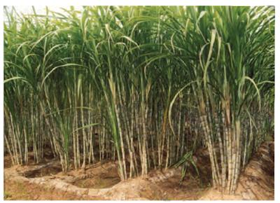 भारत की प्रमुख फसलें