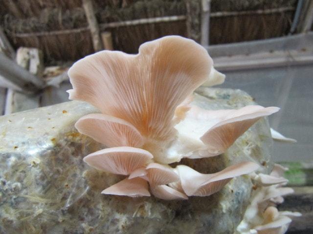 Mushroom Contract Farming | Mushroom Buyback Company | Mushroom spawn lab
