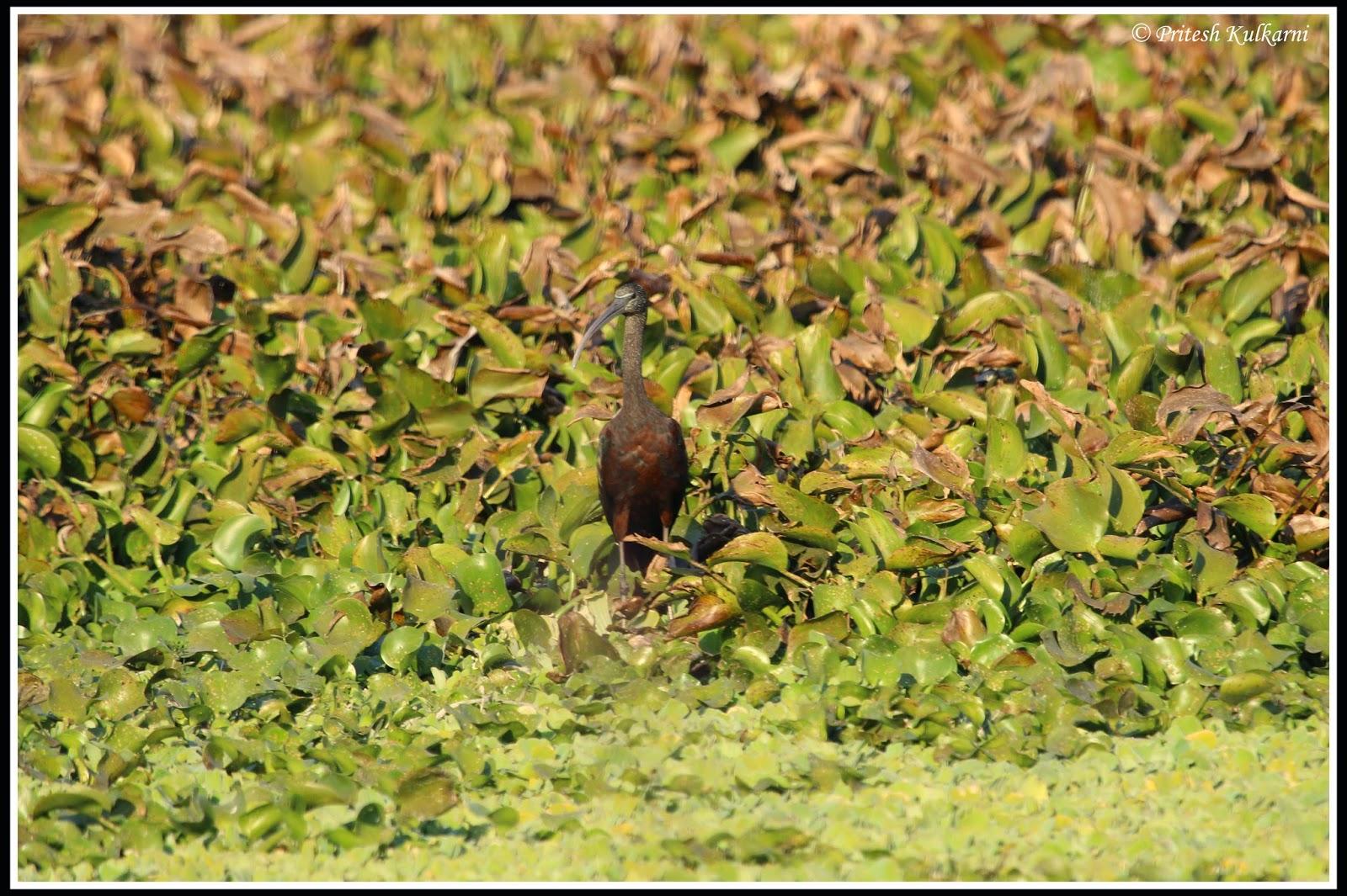 Glossy Ibis at Pashan
