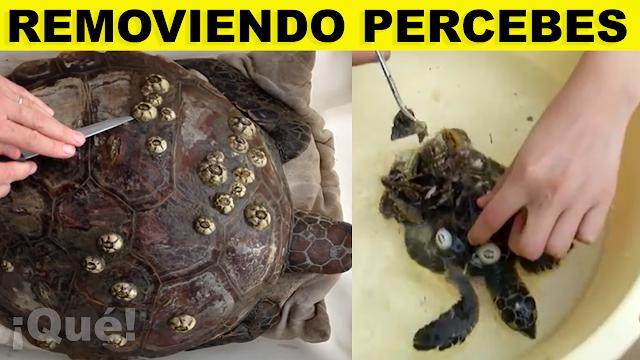 Rescatan tortugas marinas removiendo 'percebes' [ectoparásitos] de sus caparazones