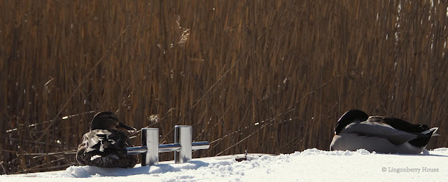 lingonberryhouse, talvi, winter, lumi, snow, mökki, leisure home, sorsa, duck, laituri, quay
