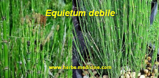 Herbalife use Equisetum debile