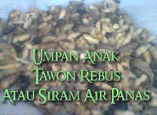 rebus anak tawon supaya awet untuk umpan mancing