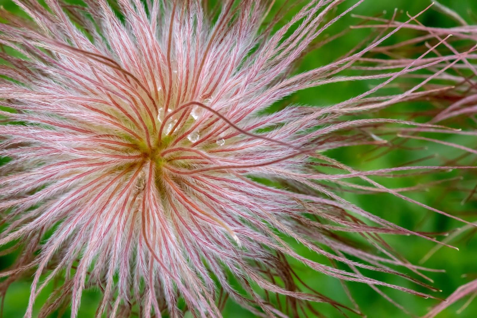 [Ranunculaceae] Pulsatilla alpina – Alpine Pasqueflower (Plusatilla alpina)