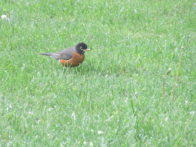Bird in my front yard finding worms-Vickie's Kitchen and Garden