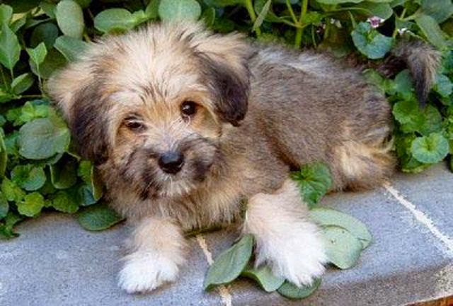 tibetan terrier puppies available rules of the jungle tibetan terrier puppies 2521