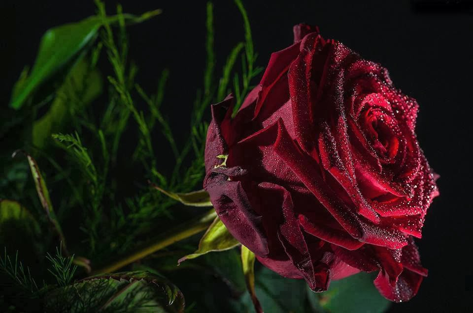 red black rose wallpaper