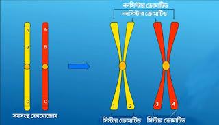 হোমোলোগাস বা সমসংস্থ ক্রোমোজোম