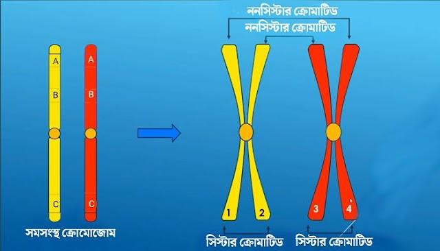 সমসংস্থ ক্রোমোজোম | সিস্টার ও নন সিস্টার ক্রোমাটিড | ক্রসিং ওভার | homologous chromosomes  | sister and non sister chromatids