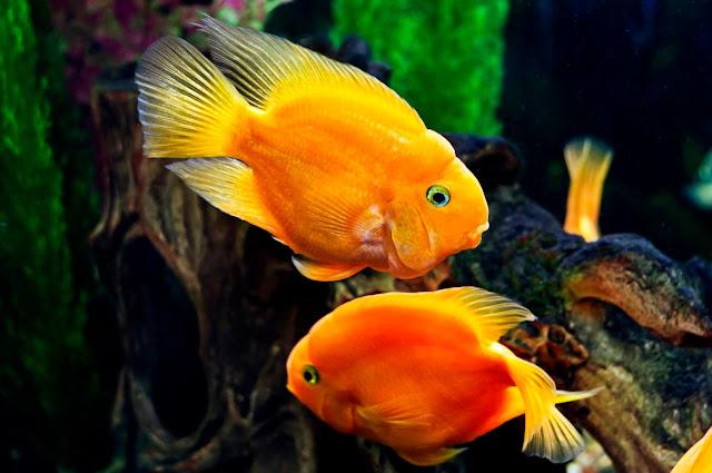Ikan Parrot