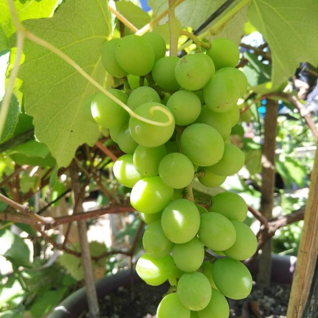 Bibit Buah Anggur Issabella 1 kg muat 4 bibit Tanjungpinang