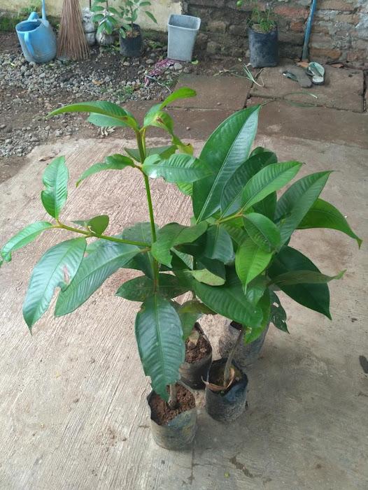 bibit tanaman buah manggis super Jawa Timur