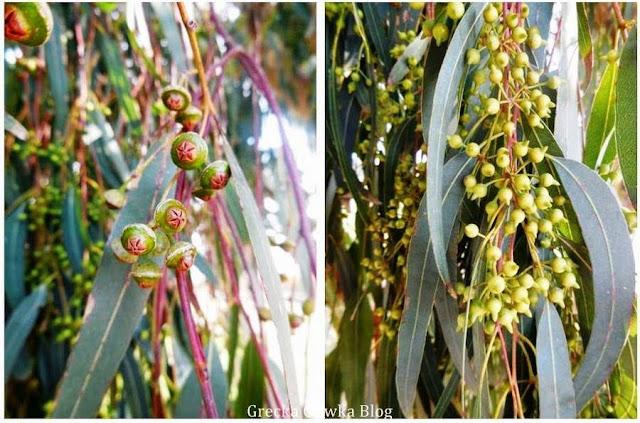 korona kwiatowa eukaliptusa pąki kwiatowe oraz nasiona otoczone zielonymi listkami eukaliptusa